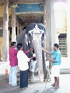 Feeding_the_temple_elephant_1